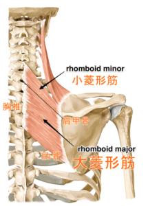 菱形筋、胸椎、肩甲骨、肋骨